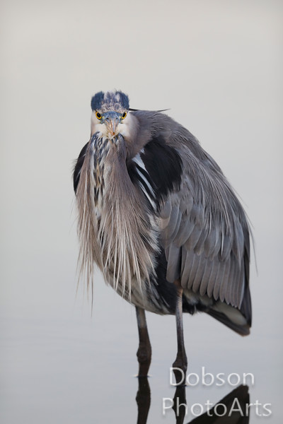 Blue Heron in a Fashionable Winter Coat