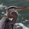 Breeding Great Blue Heron