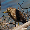 Immature Black-Crowned Night Heron
