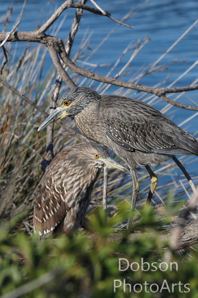 Night Heron Duet