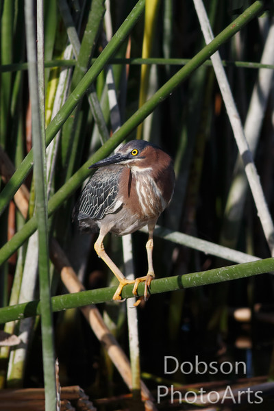 Green Heron  hidng in reeds