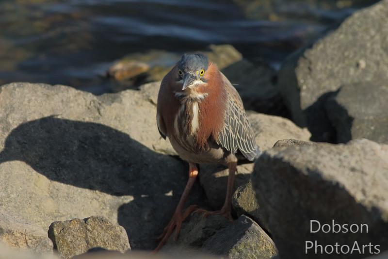 Green Heron - On the Rocks
