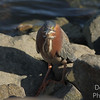 Green Heron - On the Rocks