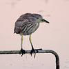 Very young black-crowned night heron