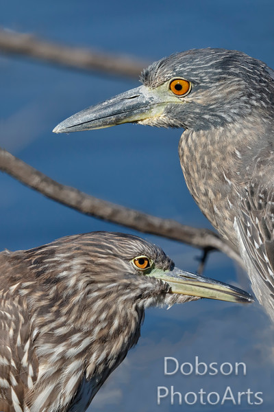 Night Heron Jamboree