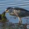 Black-crowned Night Heron with fish dinner