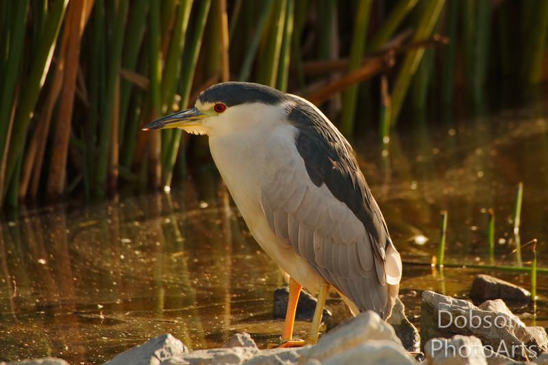 Mature  Black-crowned Night Heron