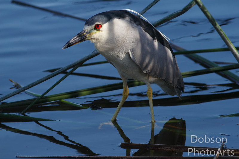 Mature Black-crowned Night Heron