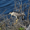 Black-crowned Night Heron basking in the afternoon sun