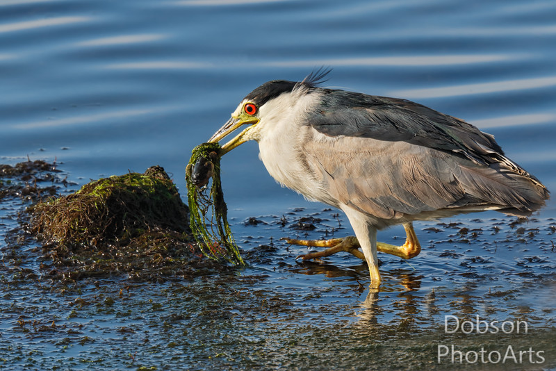 Black-crowned Night Heron with Fish Salad