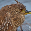 Portrait of an immature Black-crowned night heron