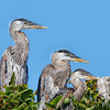 Larry, Moe and Curly Heron