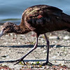 Mature White-faced Ibis