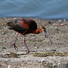 Breeding White-faced Ibis
