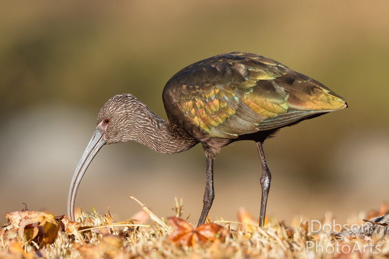 White-faced Ibis on the hunt