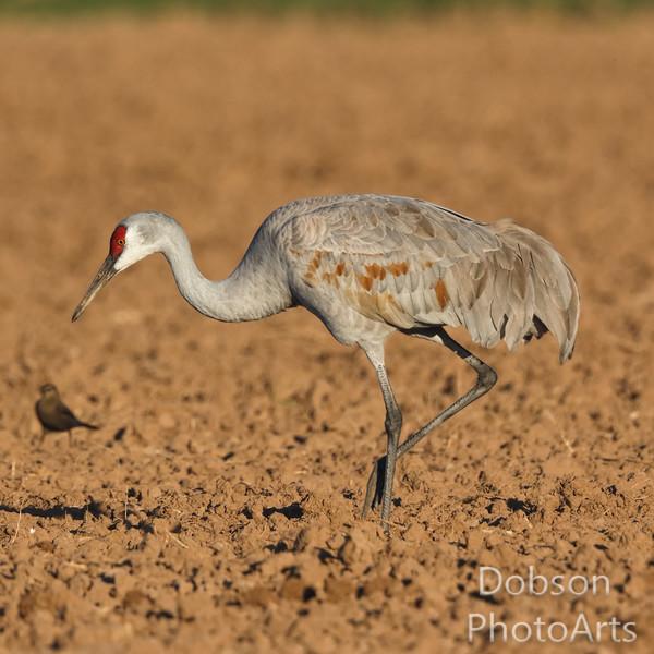 Mud-stained Sandhill Crane