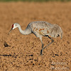 Mud-stained Sandhill Crane