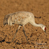 Sandhill crane foraging for corn