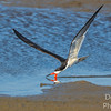 Black Skimmer at work
