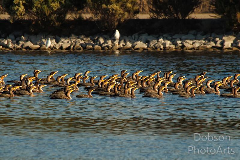 A  Frenzy of Cormorants