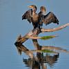 Cormorant Ballet