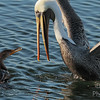 Stay Away From My Fish, Mr. Pelican