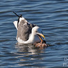 Westerm Gull  Attacking Octopus