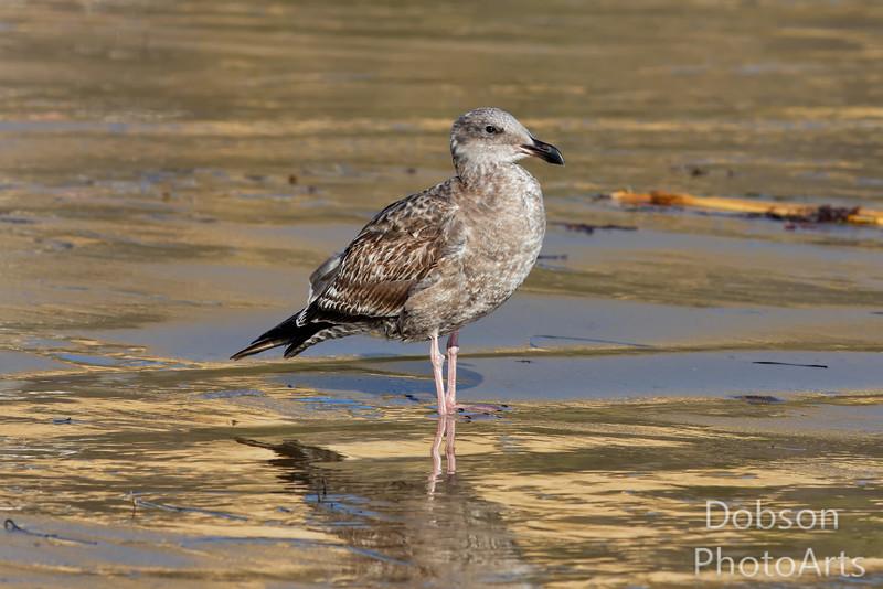 Immature Western Gull
