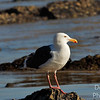 Portrait of a Western Gull