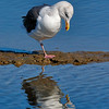 Gull pondering its reflection