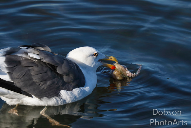 Western Gull with Prey