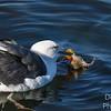 Western Gull with Prey