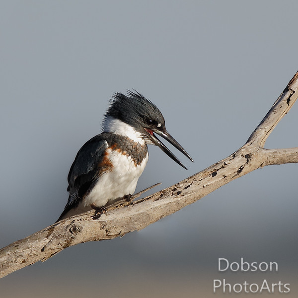 Immature Belted Kingfisher