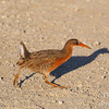 Ridgway's Rail  Galloping across the path