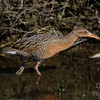 Ridgway's Rail out  for a stroll