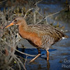 Ridgway's Rail  entering swampgrass