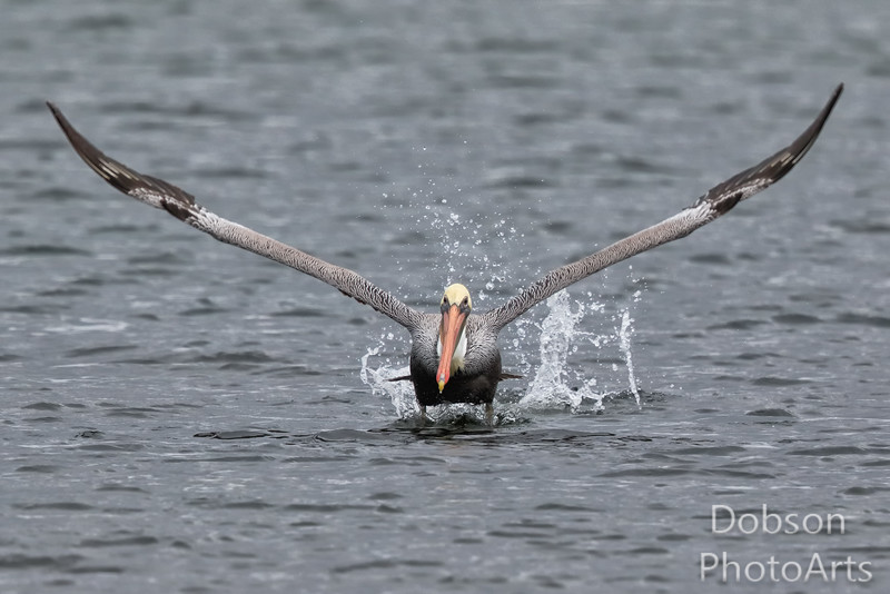 Brown Pelican - Ready to Launch