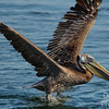 Immature Brown Pelican attempting a takeoff