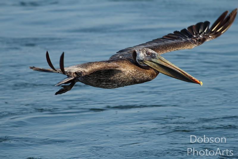 Flying Brown Pelican - an eternal source of water droplets