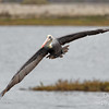 Brown Pelican on the Rise