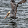 Brown Pelican Skipping on Takeoff