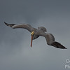 Brown Pelican Entering Dive