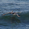 Paul, the surfing Pelican