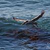 Pelican nocturne