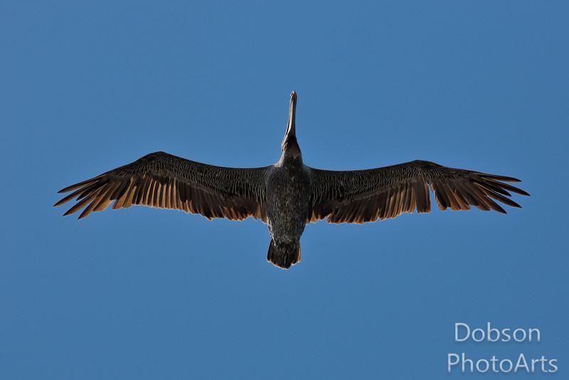 Brown Pelican Overhead