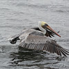 Brown Pelican Water Takeoff