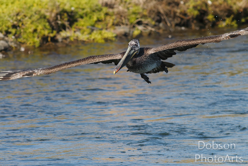 Immature brown pelican in flight