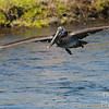 Immature brown pelican in flight