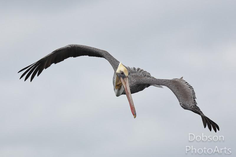 Brown Pelican Looking  for Fish