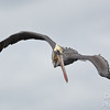 Brown Pelican Looking  for Fish